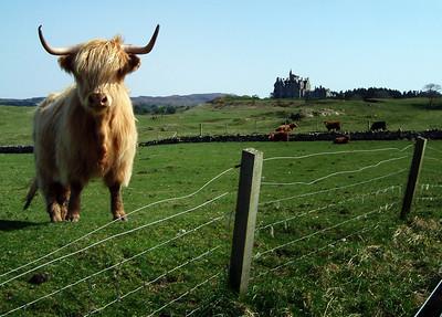 Highland cattle, Glengorm Castle, Isle of Mull, Scotland.