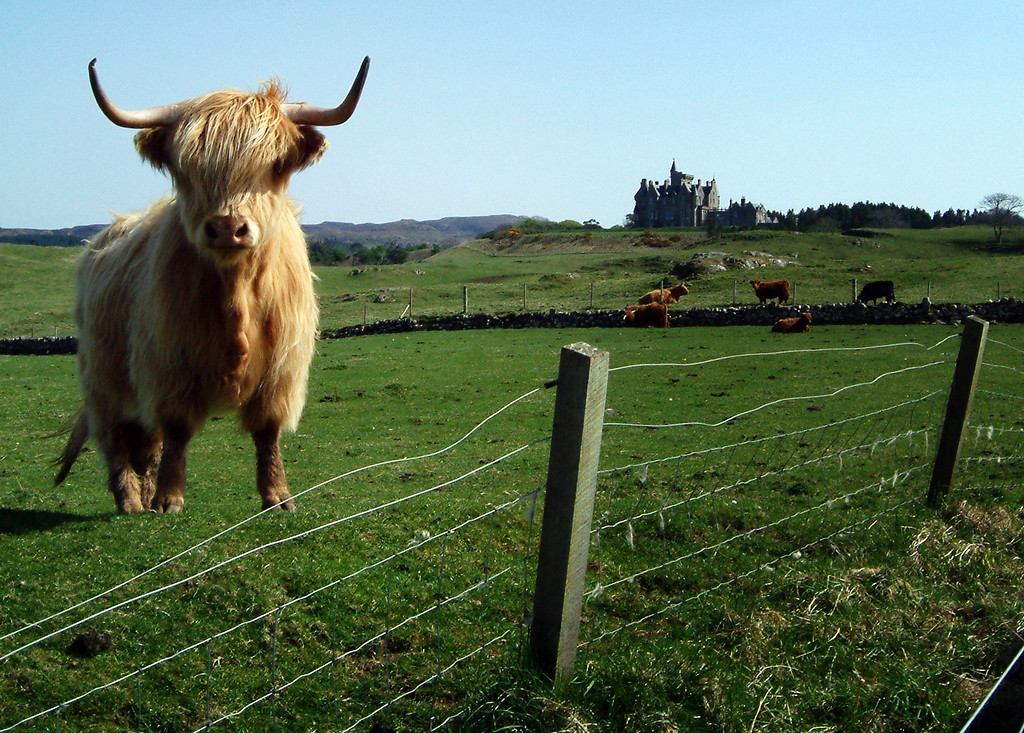 Highland cattle, Glengorm Castle, Isle of Mull, Scotland.