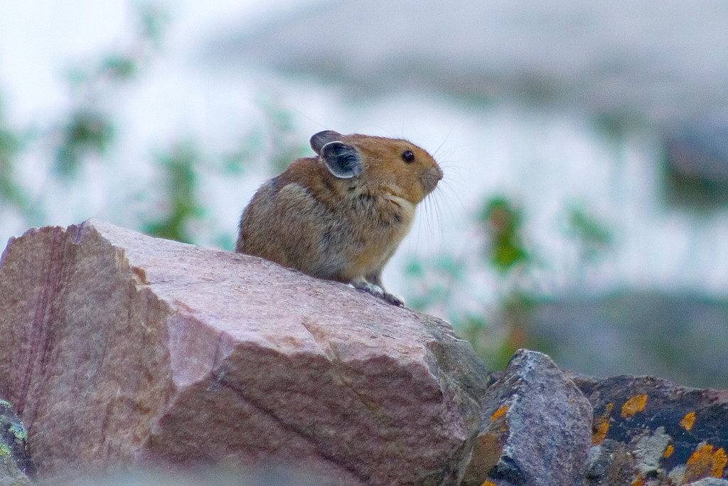 We spotted a pika (Cly thought it looked like Pikachu). The pika may look like a hamster, but is actually a cousin of the rabbit.