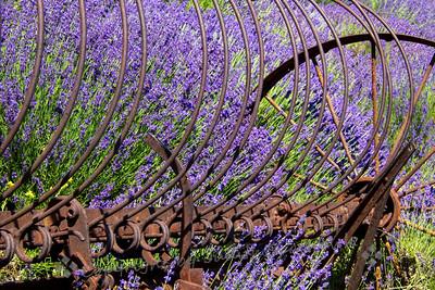 Lavender & Rust