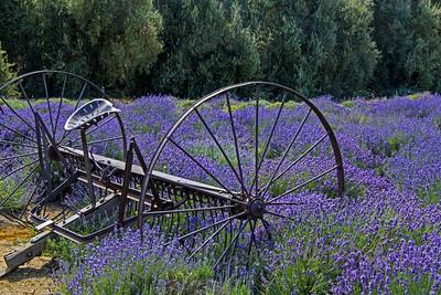 Hay Rake in the Lavender
