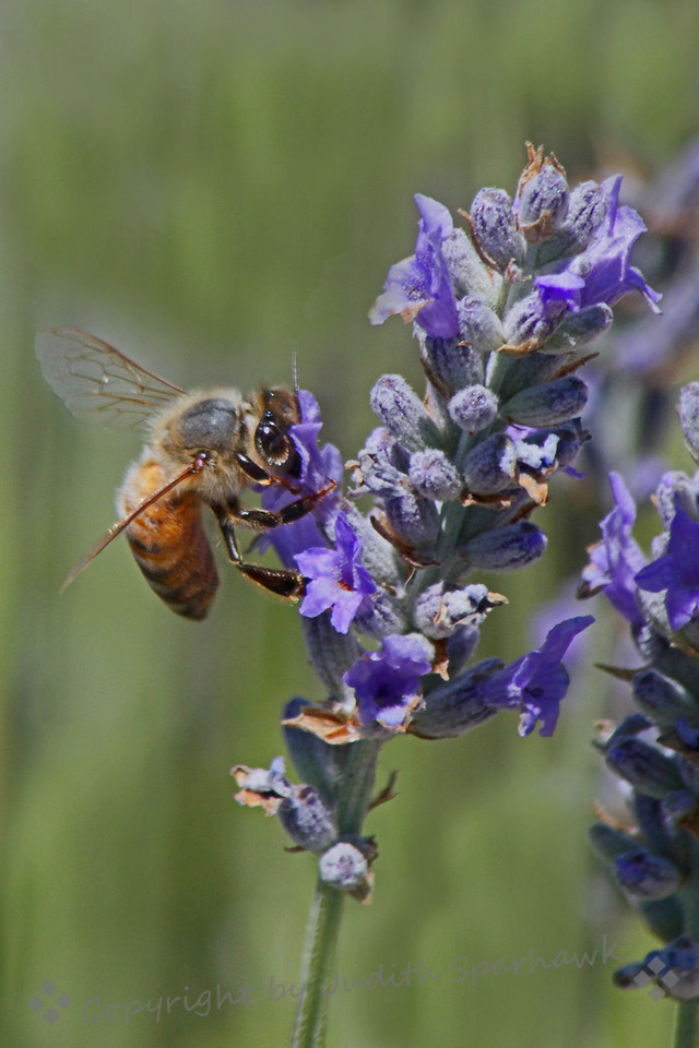 Bee in the Lavender