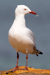 A Silver Gull poses for us.