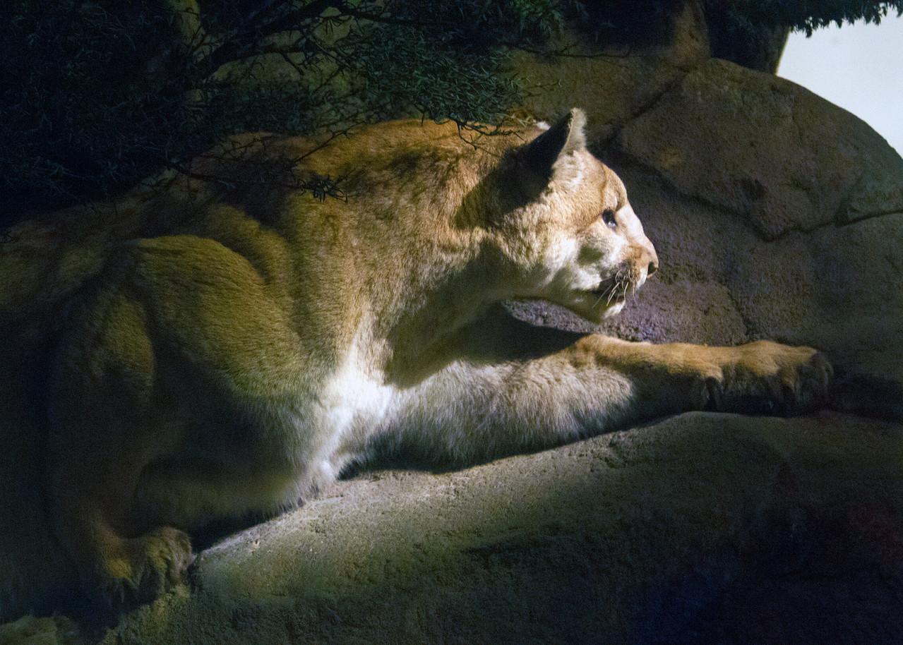 Lioness in cave diorama