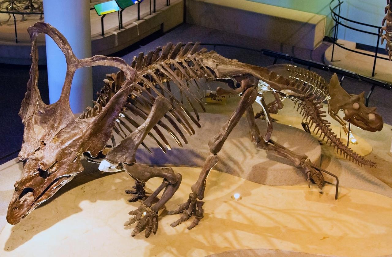 Anchicetatops skeleton