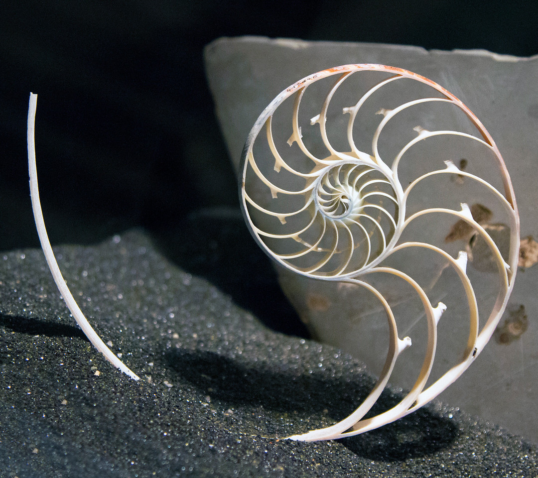 Section of a Chambered Nautilus