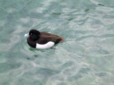 duck in Thun