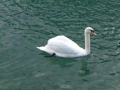 In Thun, swan