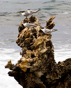 Four Crested Terns on a distant rock.