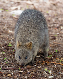 We meet our first Quokka -- a small marsupial.
