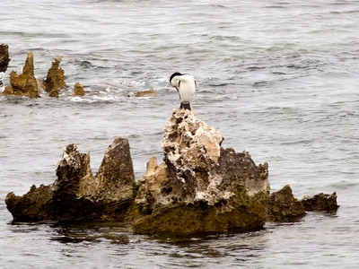 A Pied Cormorant grooms himself on a rock.