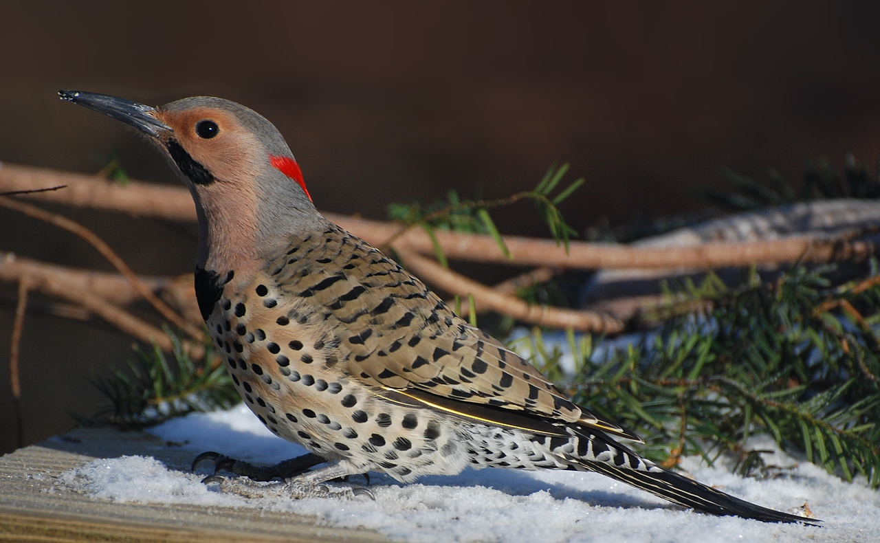 Northern flicker, Champaign