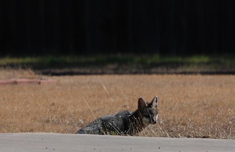 A fox in Georgetown, TX, February 8, 2008