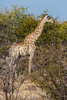 It was exciting to see a tall and stately giraffe.