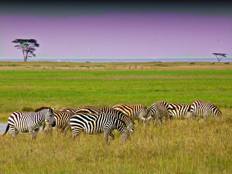 zebras in all their glory