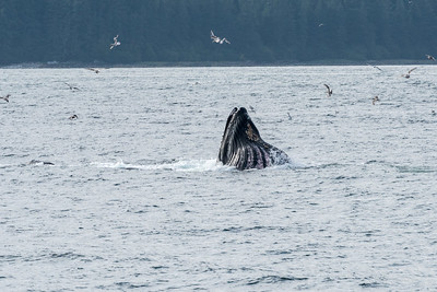 A humpback rises with mouth wide open to feed on fish trapped by bubble net feeding.