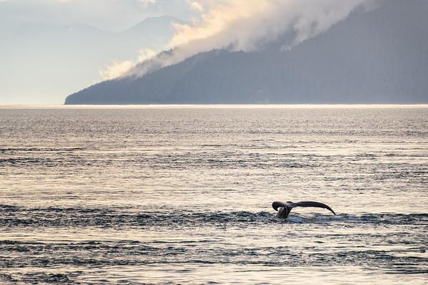 A humpback dives.