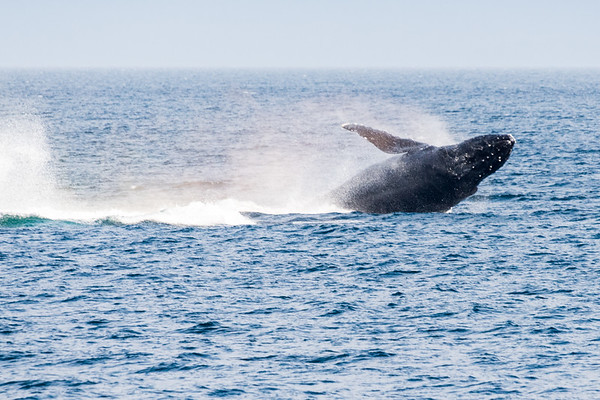 A humpback crashes back into the ocean.