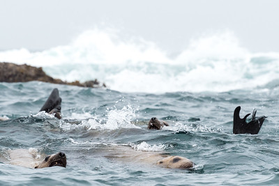 Stellar sea lions. They congregate to feed when the tide brings fish in from the open ocean in Cross Sound.