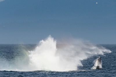 A humpback has crashed into the ocean after breaching. A second whale emerges.