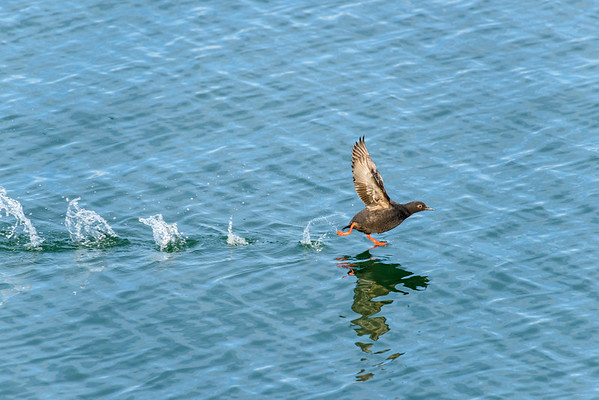 Pigeon guillemot taking off!