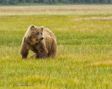 Alaskan brown bear (Ursus arctos horribilis) sow  Silver Salmon Creek Lake Clark National Park, Alaskan Peninsula