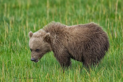 Alaskan brown bear (Ursus arctos horribilis) cub Silver Salmon Creek Lake Clark National Park, Alaskan Peninsula