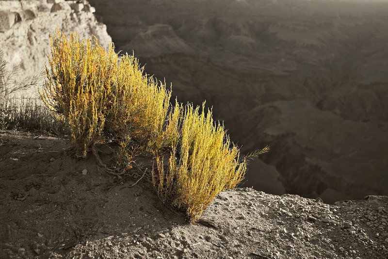 SHRUBS ON THE RIM AT YAVAPAI POINT