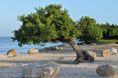 Wind blown divi divi tree