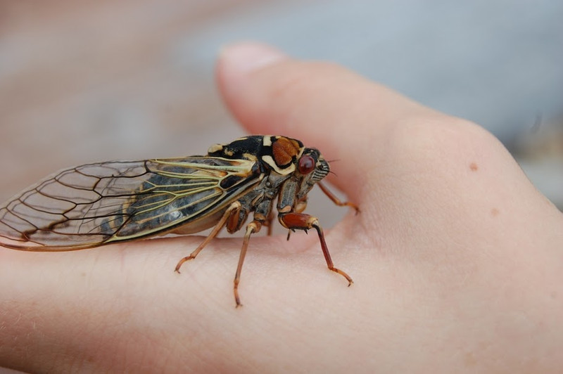 Cicada  Photo by Claire Oberst