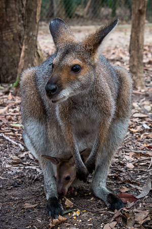 Wallaby & Joey