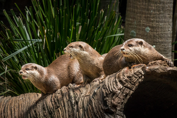 Small-Clawed Asian Otters