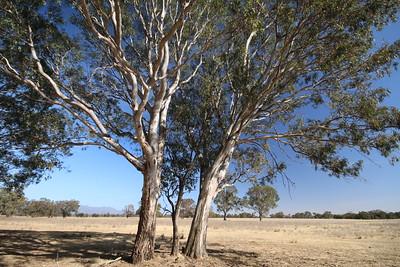 Gumtrees!  Stawell, Victoria, Australië.