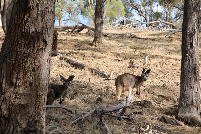 Kangaroos! Melrose Nature Trail, Mount Remarkable, South Australia,  Australië.