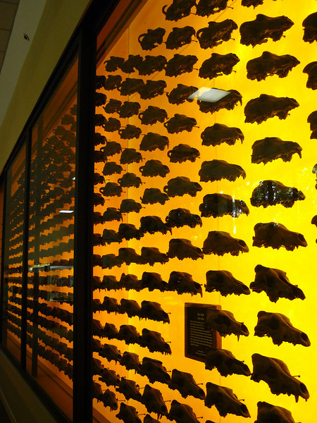 400 Dire Wolf skulls. They all fell prey to the tar pits.