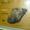 Tooth of a mammoth