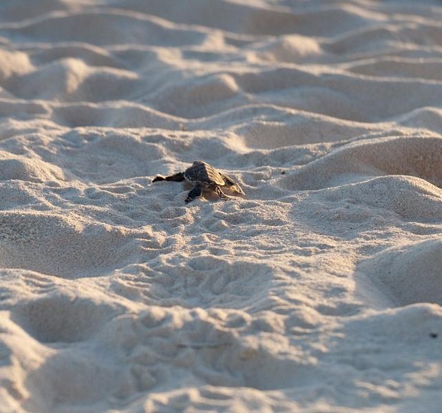 baby sea turtle escapes