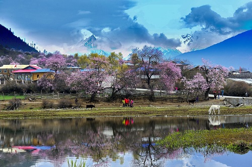 Tibet Nyingchi Peach Blossom Festival