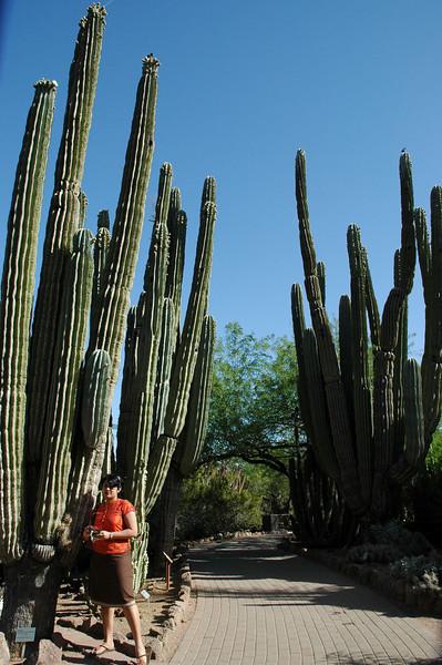 Tall Cactii at the Desert Botanical Gardens