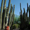 Tall Cactii at the Desert Botanical Gardens