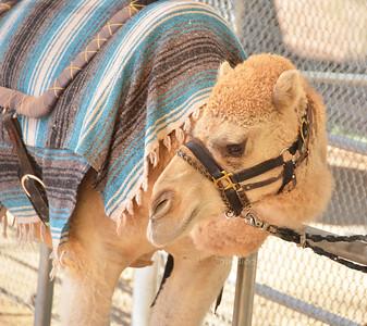 Camel head PHX 7884