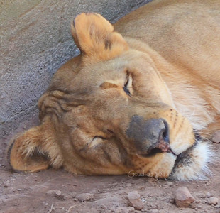 Sleeping Lion 8055c