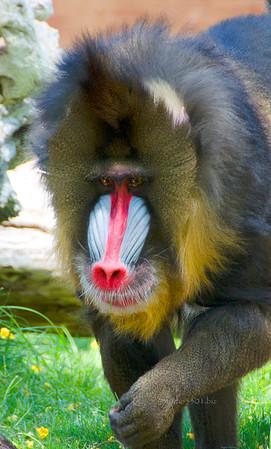 Mandrill Baboon at Phx Zoo 051912