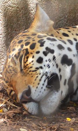 sleeping leopard  face 8300