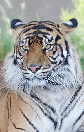 Tiger face 051912 8682