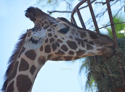 Giraffe 051912 PHX 7790