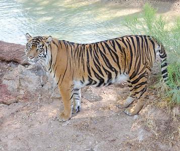 Tiger  PHX Zoo 0512 8718