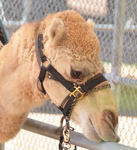 Camel bar 0512 7887