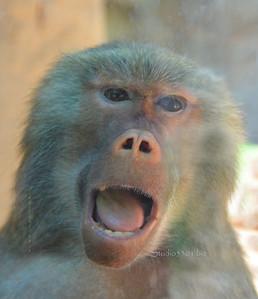 Baboon laugh 7995