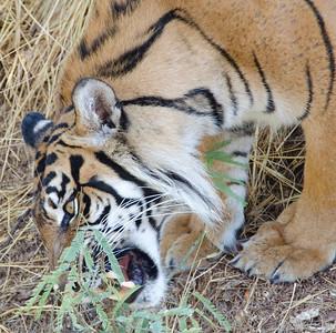 Tiger chomping grass 0512 8738